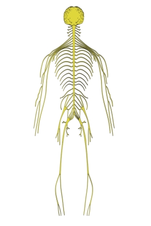 Imagen del sistema nervioso