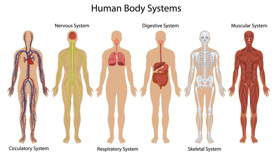 Nervios del cuerpo humano y sus nombres