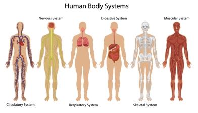 """No se consigue conocer el cuerpo humano en """"dos tardes"""". Sistemas del cuerpo humano: Sistemas circulatorio, nervioso, respiratorio, digestivo, óseo y muscular."""