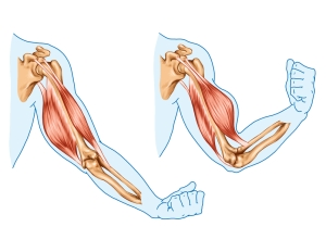 Ejemplo de músculos antagonistas. El bíceps braquial es flexor de codo, mientras que  el tríceps braquial realiza la acción contraria de extensión de codo.