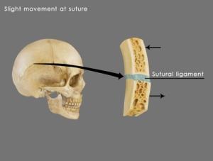 Ejemplo de la articulación del cráneo.