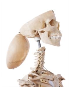Esqueleto sin cerebro