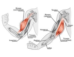 Ejemplos de origen e inserción del bíceps y tríceps braquial.