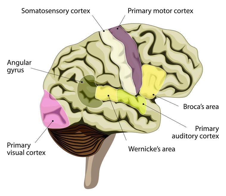 Evolución de los mapas cerebrales: entrenamiento activo vs pasivo ...