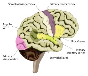 Cerebro humano partes del cerebro