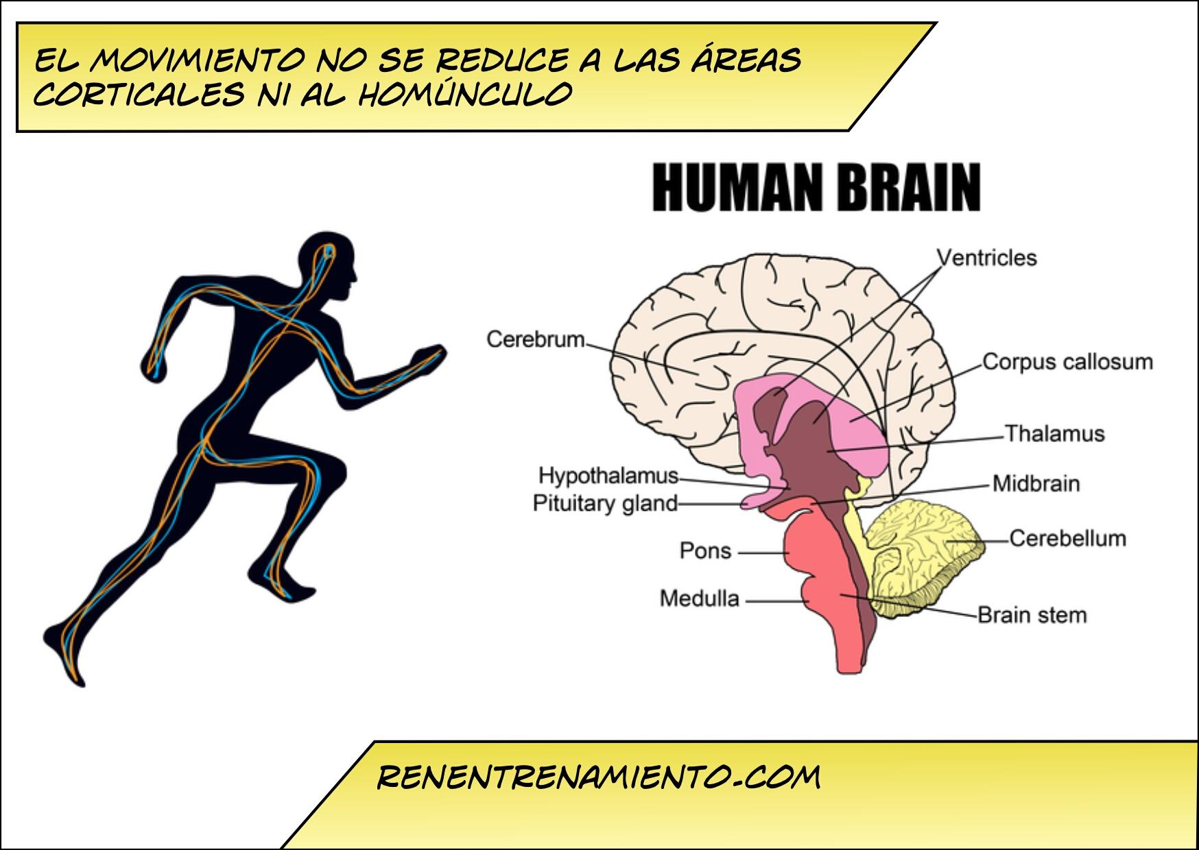 Control motor y homúnculo, ¿son unos músculos más importantes que ...