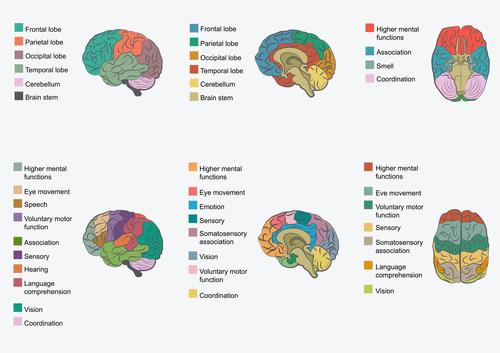 Áreas cortex cerebral ren entrenamiento