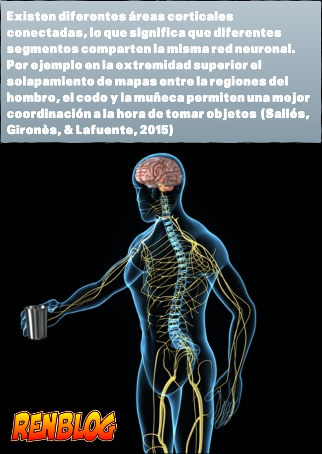 Mapas solapados, áreas corticales interconectadas. Ren entrenamiento.