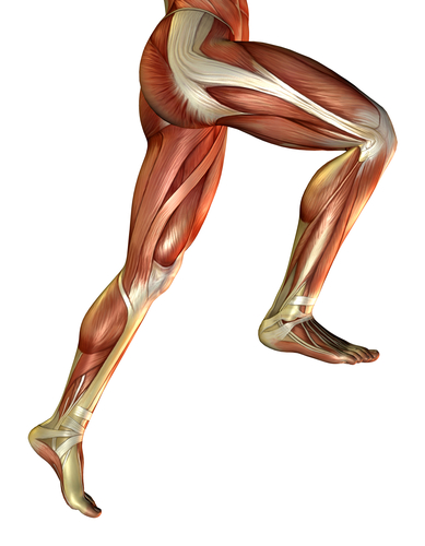 Leg muscles of the man