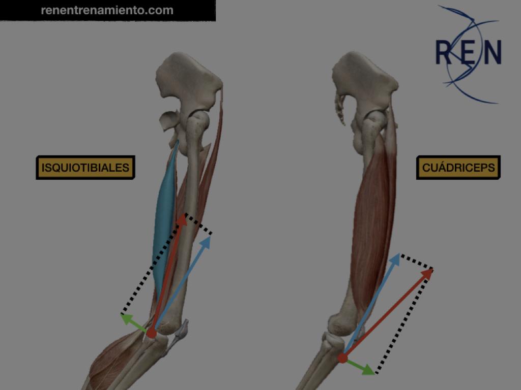 Anatomía y biomecánica – REN ENTRENAMIENTO