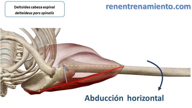 deltoides posterior