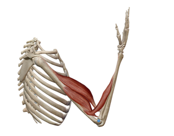 Imagen en la que se representan varios músculos flexores del codo: Bíceps braquial, braquioradial y radial.